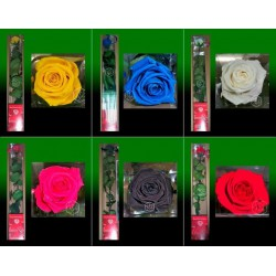 rosa perservada